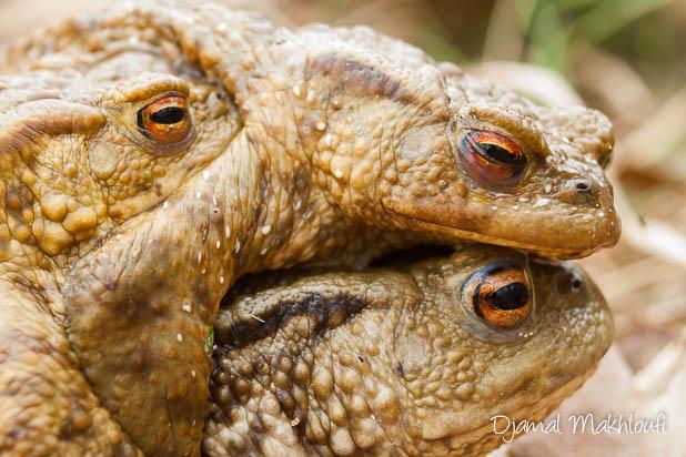Accouplement du crapaud commun Bufo bufo - Mâles et femelle