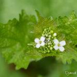 Fleur blanche sauvage - Alliaire officinale (Alliaria petiolata) - Fleurs sauvages