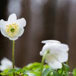 Fleur blanche sauvage - Anémone des bois (Anemone nemorosa) - Plante à fleur blanche