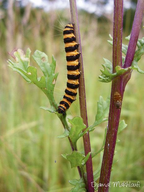 Chenille écaille du séneçon - papillon de la forêt de Fontainebleau