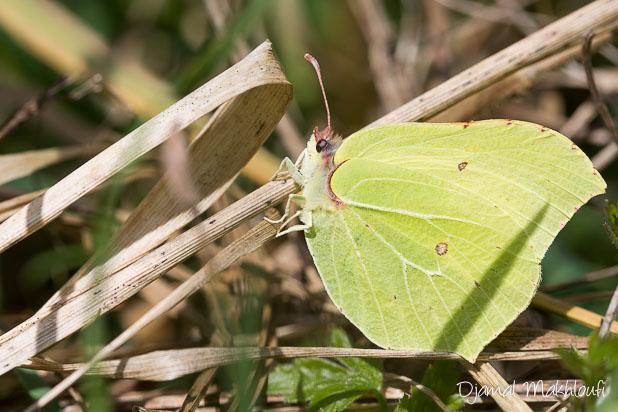 Papillon Citron (Gonepteryx rhamni) - Papillon de la forêt de Fontainebleau