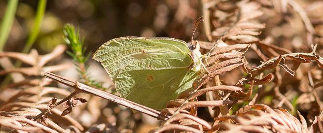 Citron (Gonepteryx rhamni) - papillon jaune