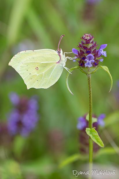 Citron (Papillon Citron (Gonepteryx rhamni) - Papillon de la forêt de Fontainebleau ) - papillon diurne