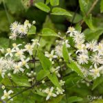 Fleur blanche sauvage - Clématite des haies ( Clematis vitalba) - Fleurs sauvages blanches