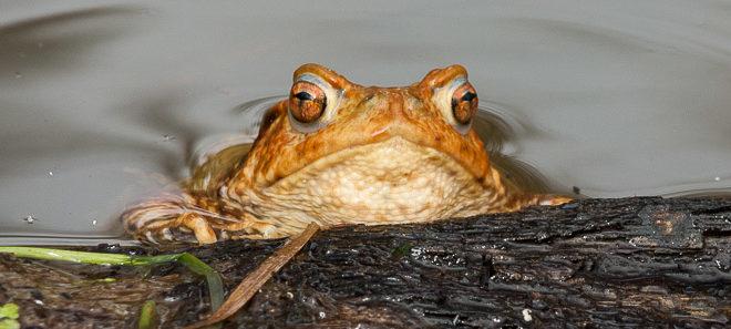 Crapaud commun (Bufo bufo) - Amphibien de la forêt de Fontainebleau