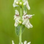 Fleur blanche sauvage - Épiaire droite (Stachys recta) - Plante à fleur blanche