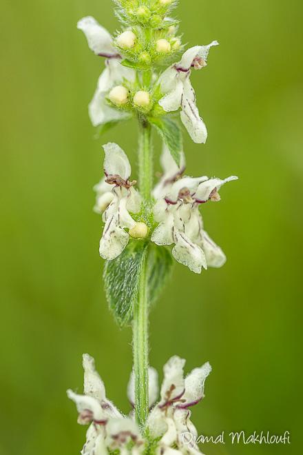 petite fleur blanche sauvage noms et photos des plantes. Black Bedroom Furniture Sets. Home Design Ideas