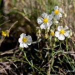 Fleur blanche sauvage - Hélianthème blanc (Helianthemum apenninum) - Petite fleur blanche