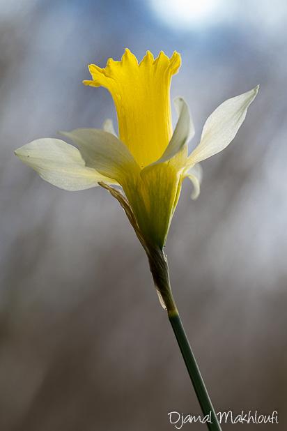 Jonquille des bois - Jonquille sauvage (fleur sauvage de la forêt de Fontainebleau)