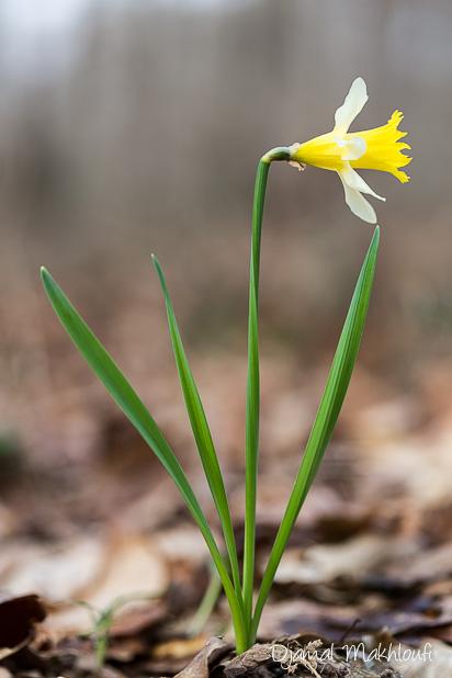 Jonquille sauvage (Narcissus pseudonarcissus)