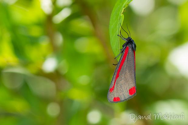 La Goutte de sang (Tyria jacobaeae) - Écaille du séneçon - Papillon de la forêt de Fontainebleau