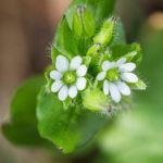 Fleur blanche sauvage - Mourons des oiseaux (Stellaria media) - Petite fleur blanche