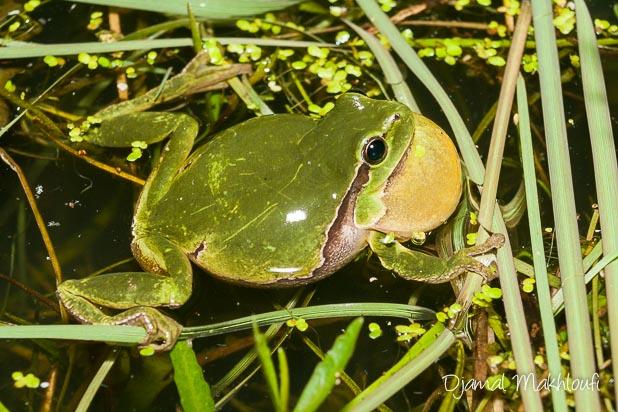 Sac vocal de la rainette verte - Amphibien de Seine et Marne