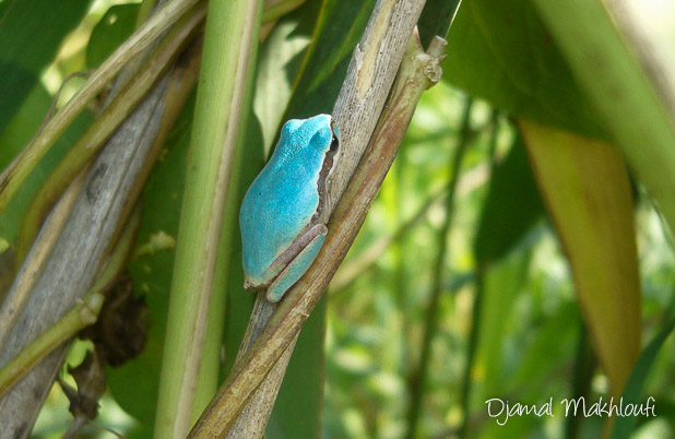 Rainette mériodionale bleue (Hyla meridionalis)