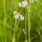 Fleur blanche sauvage - Silène enflé (Silene vulgaris) - Fleurs blanches