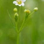 Fleur blanche sauvage - Stellaire holostée (Stellaria holostea) - Fleur blanche