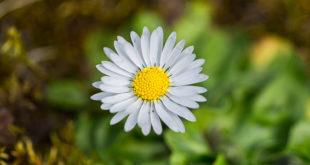 Marguerite - Petite fleur blanche