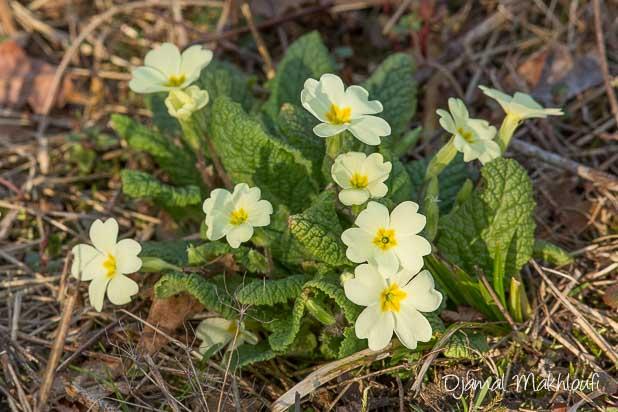 Primevère commune (Primula vulgaris) - Fleur sauvage de la forêt de Fontainebleau