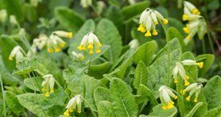 Fleur de coucou - Primevère officinale (fleur sauvage de la forêt de Fontainebleau)