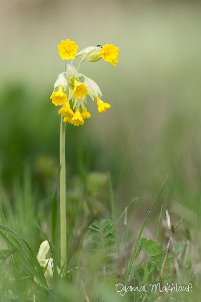 Primevère sauvage - Primevère officinale (Primula officinalis)