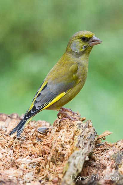 Verdier d'Europe mâle - Oiseau des jardin