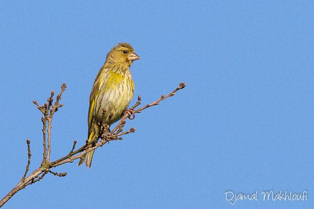 Verdier d'Europe femelle (Chloris chloris) - Photo oiseau de la forêt de Fontainebleau