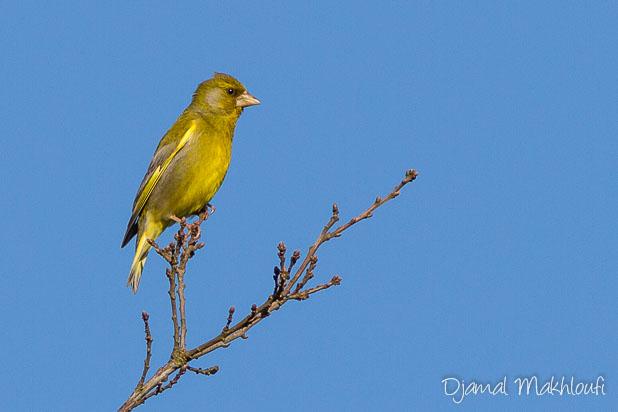 Verdier d'Europe mâle (Chloris chloris) - Photo oiseau de la forêt de Fontainebleau