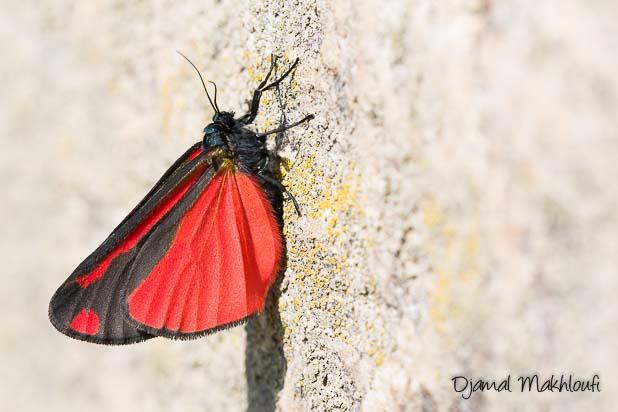 La Goutte de sang | Écaille du séneçon (Tyria jacobaeae)