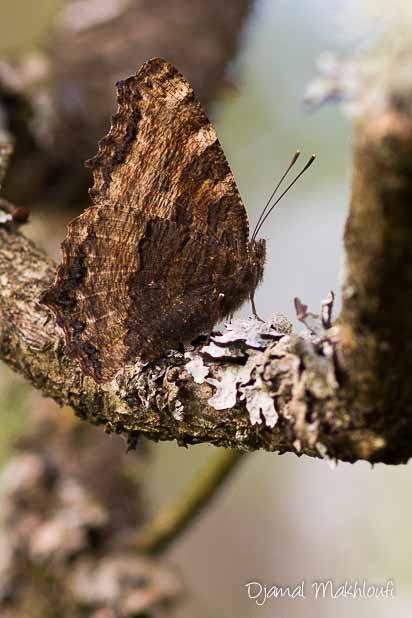 Dessous des ailes de la Grande tortue (Nymphalis polychloros)