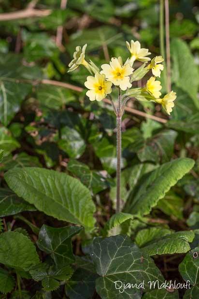 Primevère élevée (Primula elatior)