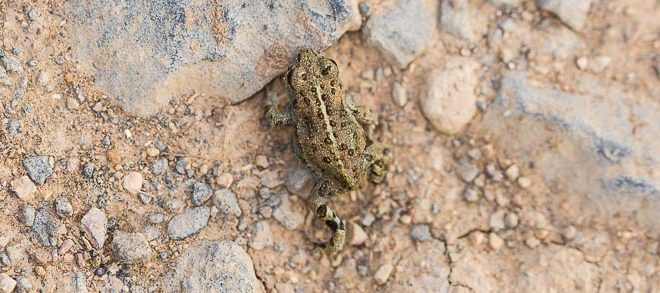 Jeune crapaud calamite (Epidalea calamita) - Amphibien d'Ile de France