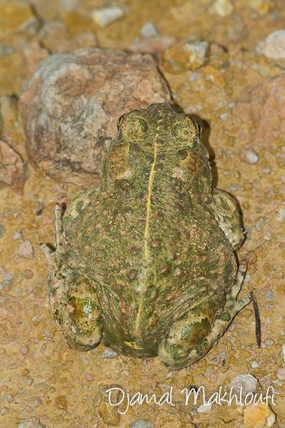 Crapaud calamite - Crapaud des joncs (amphibien de la forêt de Fontainebleau)