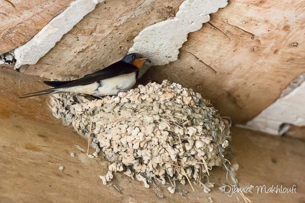 hirondelle de cheminée au nid