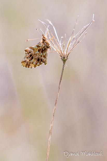 Revers des ailes de la Petite Violette