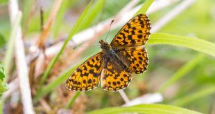 Petite violette (Boloria dia) - Papillon de la forêt de Fontainebleau