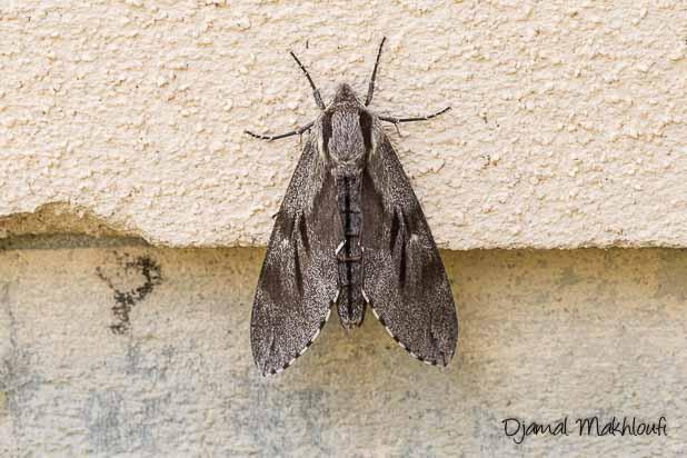Sphinx du pin (Sphinx pinastri) - papillon de nuit sphinx