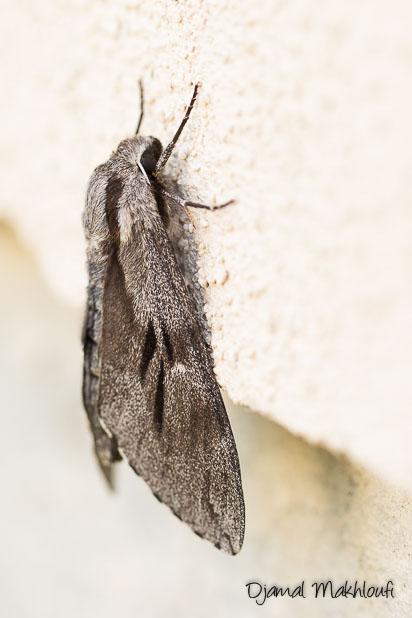 Sphinx du pin - Gros papillon de nuit de la forêt de Fontainebleau
