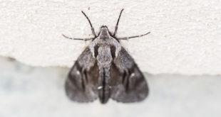 sphinx du pin - Gros papillon de nuit