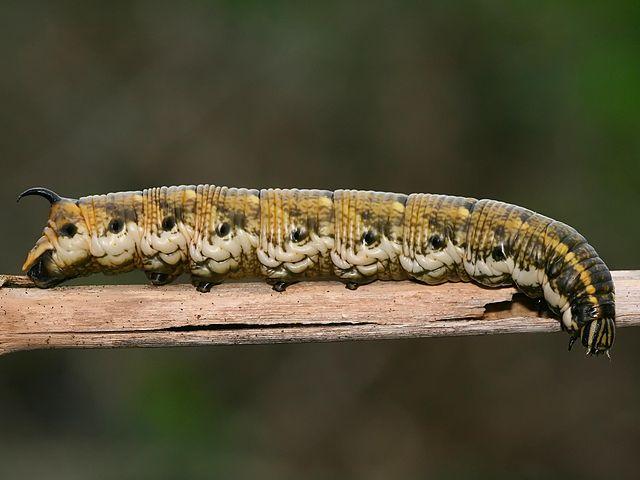 Agrius convolvuli - Korseby (Kristian Peters)