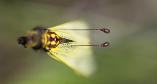 Ascalaphe ambré (Libelloides longicornis) - Ascalaphe commun
