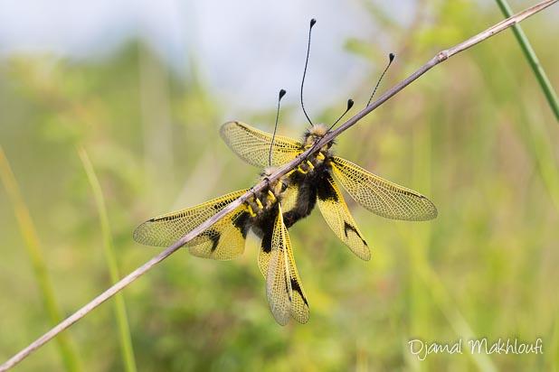 Accouplement ascalaphe ambré (Libelloides longicornis) - Ascalaphe commun