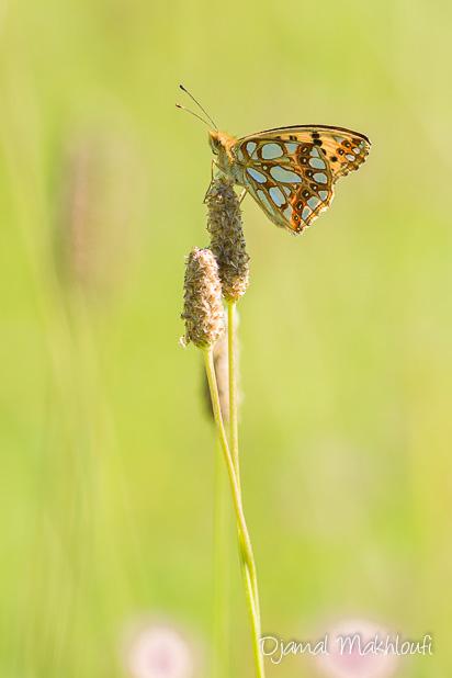 Petit nacré ( Issoria lathonia) - Papillon migrateur