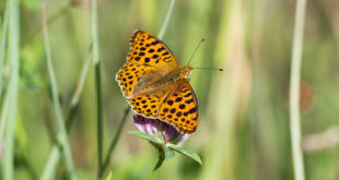 Petit nacré ( Issoria lathonia) - Papillon de la forêt de Fontainebleau