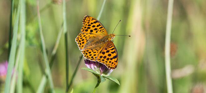 Petit nacré vue de dessus ( Issoria lathonia) - Papillon de la forêt de Fontainebleau