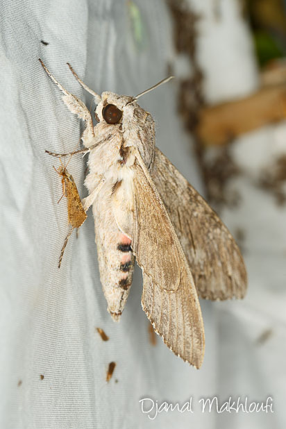 Sphinx du liseron - papillon de nuit - photo
