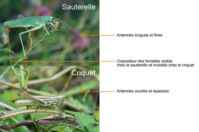 Différences entre sauterelle et criquet