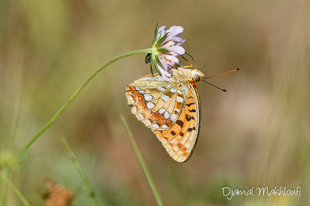 Moyen nacré (Argynnis adippe) - Insecte de la forêt de Fontainebleau
