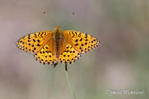 Moyen nacré (Argynnis adippe) - Papillon diurne de la forêt de Fontainebleau