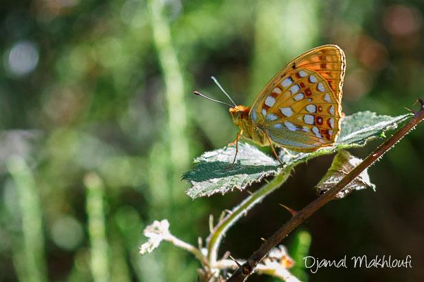 Moyen Nacré - Papilon de la forêt de Fontainebleau
