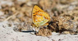 Moyen nacré (Argynnis adippe) - Papillon de la forêt de Fontainebleau